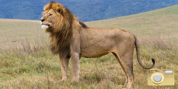 BILDSPECIAL: AFRIKAS FANTASTISKA LEJON!