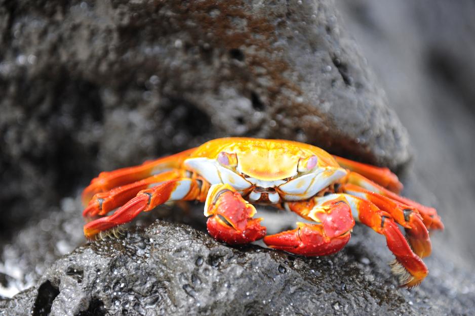 Närbild Sally Crab