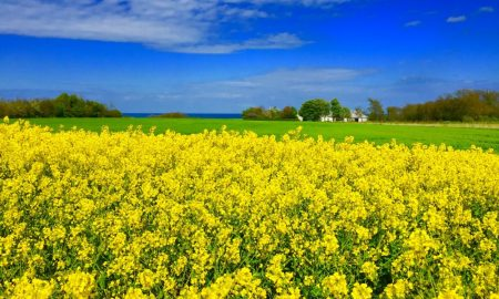 WHITE BEACHES AND YELLOW CANOLA IN BORNHOLM.